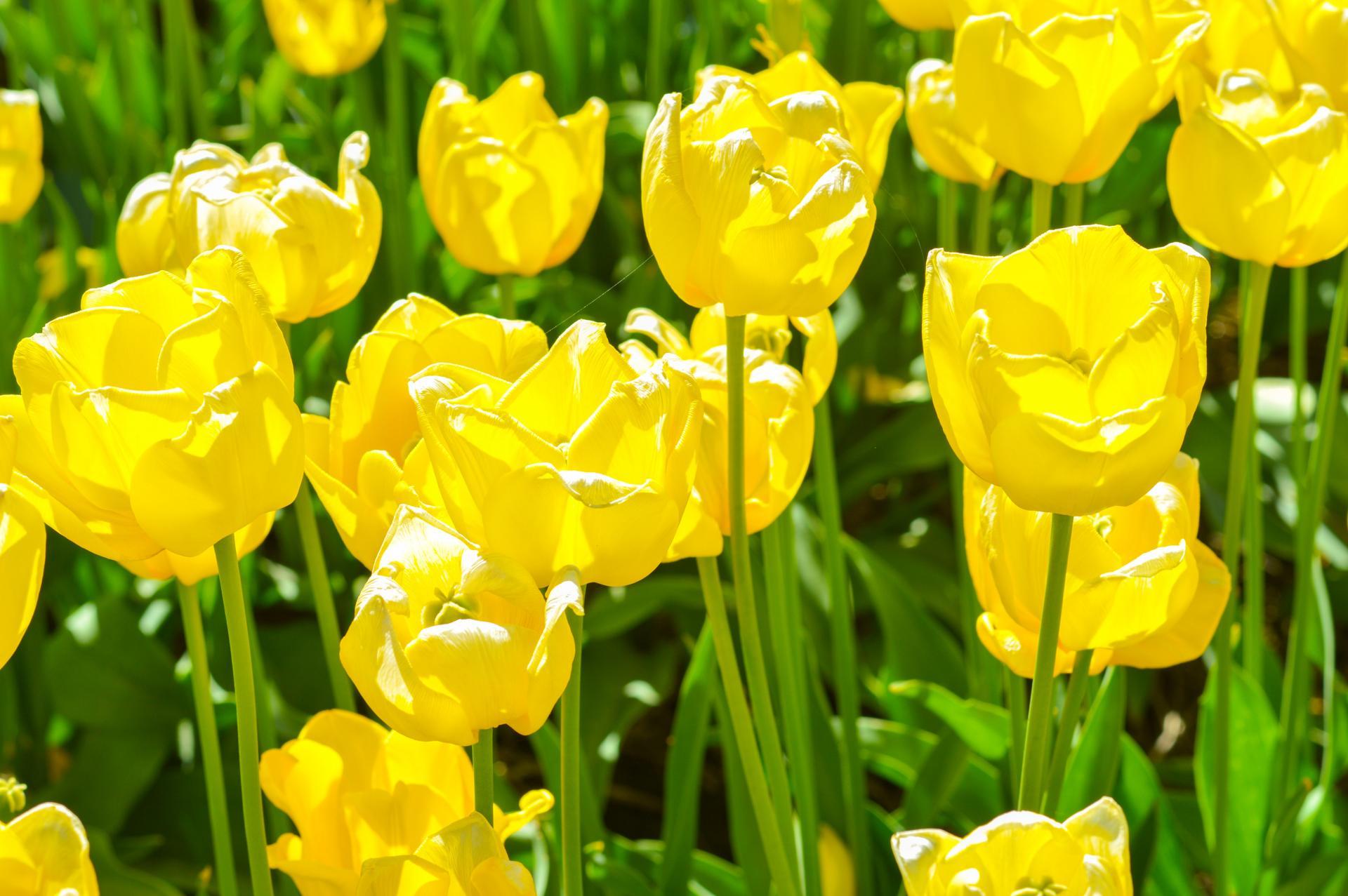2016 Abbotsford Tulip Festival