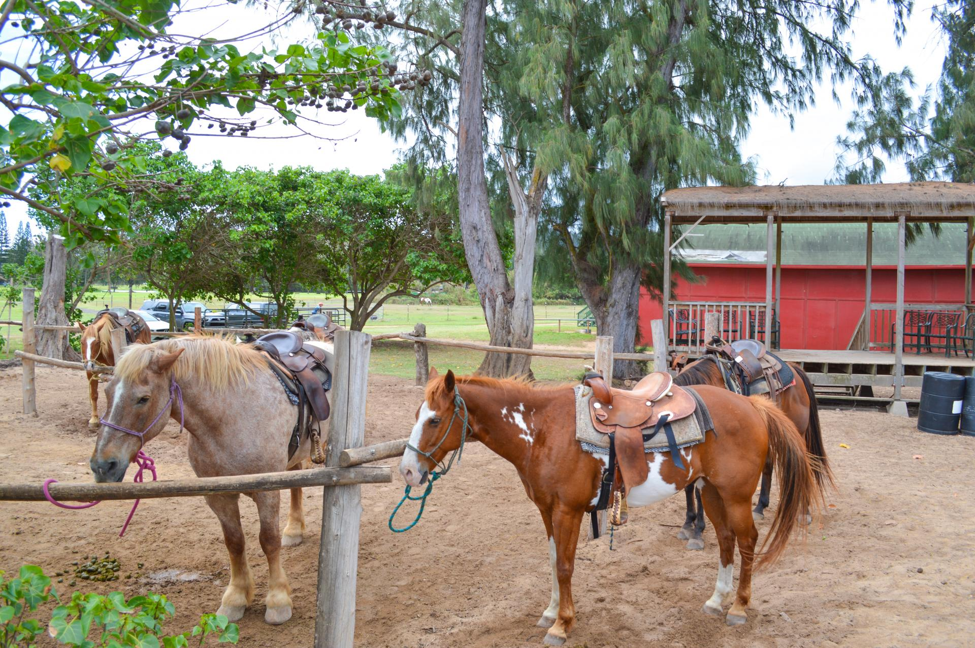 Horseback Riding at Turtle Bay Resort