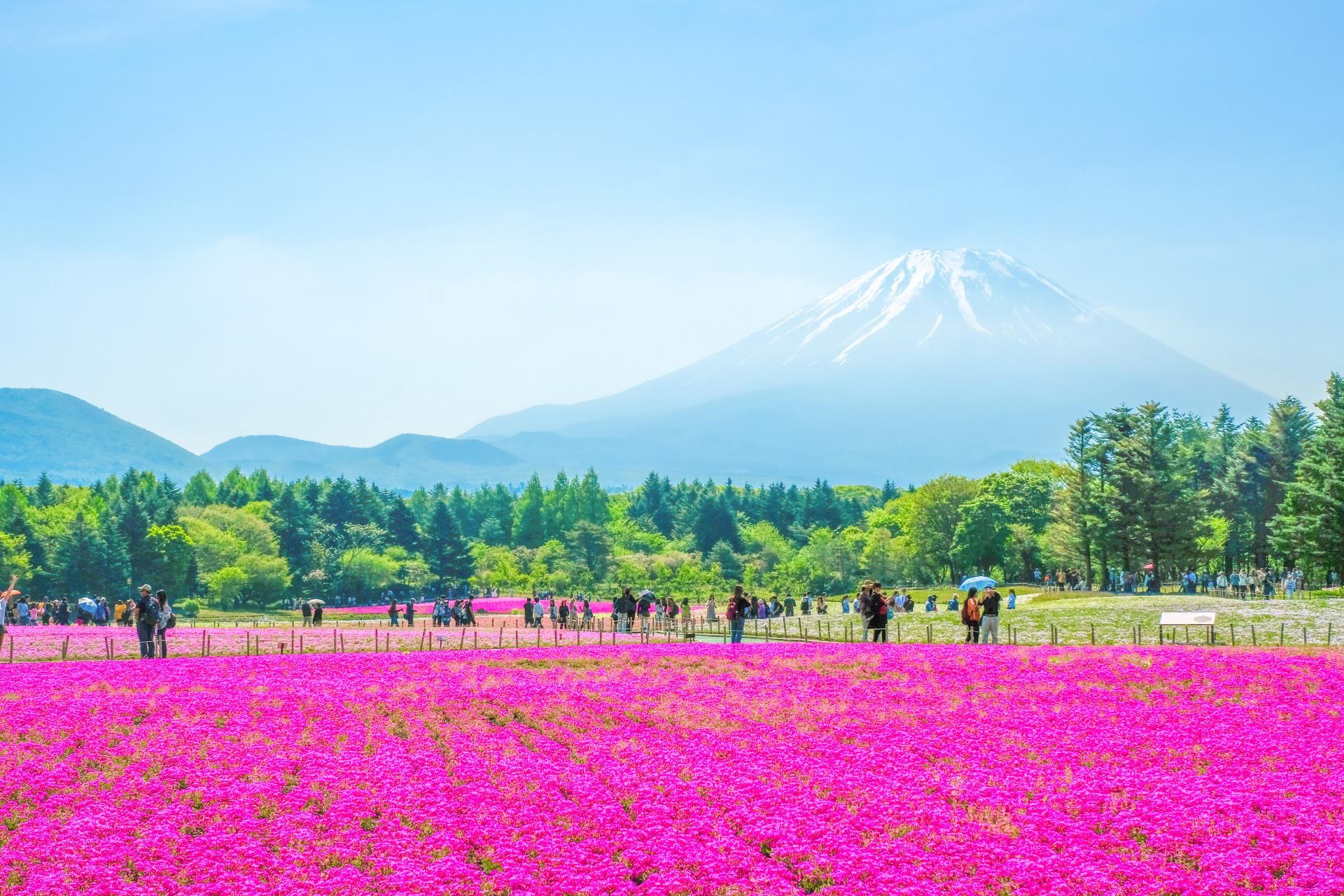 Fuji Shibazakura Festival