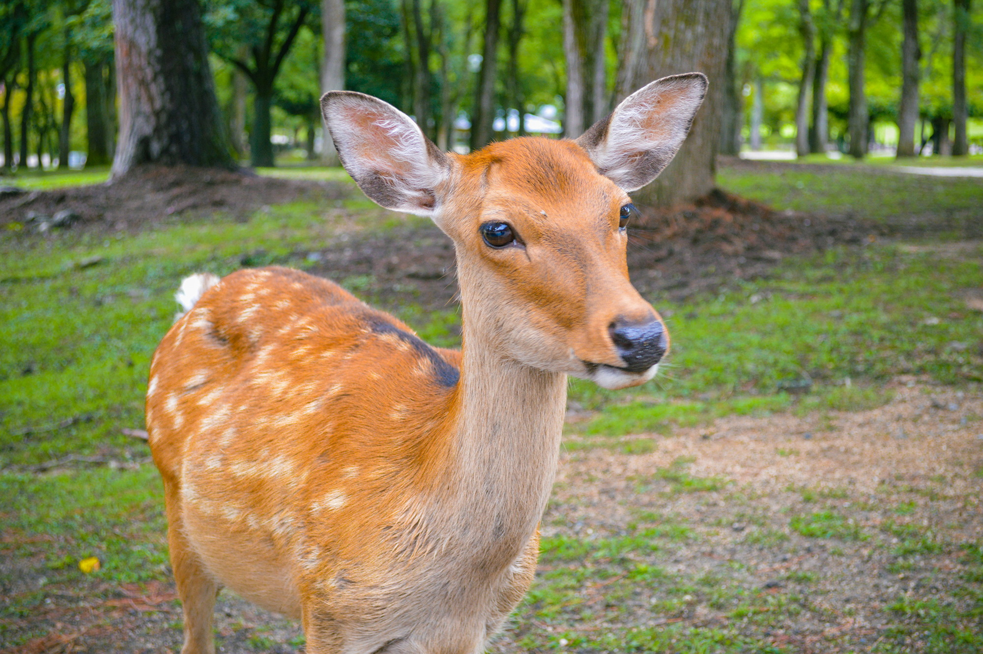 A top thing to do in Japan is to feed a deer at Nara Park!